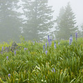 Wildflowers And Fog by Idaho Scenic Images Linda Lantzy