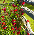 Wildflowers And Rail Fence by Thomas R Fletcher