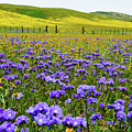 Wildflowers Carrizo Plain by Kyle Hanson
