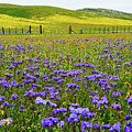 Wildflowers Carrizo Plain National Monument by Kyle Hanson