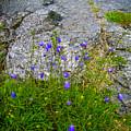 Wildflowers In The Burren Limestone by James Truett