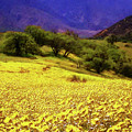 Wildflowers In The San Emigdio Mountains by Timothy Bulone
