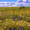 Wildflowers Of The Carrizo Plain Superbloom 2017 by Lynn Bauer