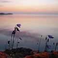 Wildflowers Over Lake Superior by Jane Melgaard