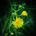 Wildly Yellow by Maria Urso