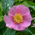 Wild's Pink Rose by Wild Thing