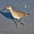 Willet And Shadow by Bob Phillips