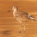 Willet by Clarence Holmes