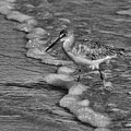 Willet In The Surf by Deborah Benoit