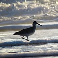 Willet by Joshua Bales