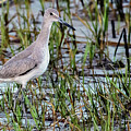 Willet On Beach by Rick Higgins