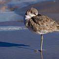 Willet Resting At The Beach by Debra Martz