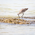 Willet Set 2 Of 4 By Darrell Hutto by J Darrell Hutto