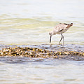 Willet Set 3 Of 4 By Darrell Hutto by J Darrell Hutto