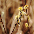 Willow Catkins by Debbie Oppermann