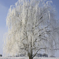 Willow In Ice by Deborah Benoit