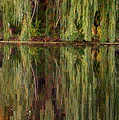 Willow Reflection by Stephanie Forrer-Harbridge