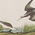 Wilson's Phalarope by John James Audubon