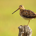 Wilson's Snipe On Morning Perch by Max Allen