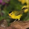 Wilsons Warbler Wilsonia Pusilla Male by Tom Vezo