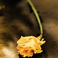 Wilting Puddle Flower by Jorgo Photography - Wall Art Gallery