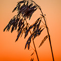 Wilting Sunset by Gary Mosman