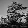 Wind Shaped Tree by Roxy Hurtubise