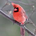 Windblown Cardinal by Sue Feldberg
