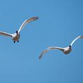 Trumpeter Swan Pair In Flight by Deb Fedeler