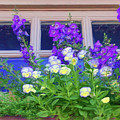 Window Box With Pansies by Nikolyn McDonald