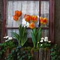Windowbox Tulips by Patricia Strand