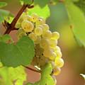 Wine Grape by John Magyar Photography