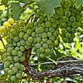 Wine Grapes by DJ Florek