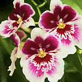 Wine Orchids- The Risen Lord by Penny Lisowski