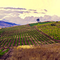 Wine Vineyard In Sicily by Madeline Ellis