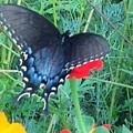 Wing Spread Butterfly by Debra Lynch