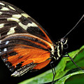 Wing Texture Of Eueides Isabella Longwing Butterfly On A Leaf Ag by Reimar Gaertner
