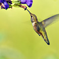 Winged Beauty A Hummingbird by Laura Mountainspring