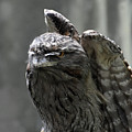 Wings Above A Tawny Frogmouth That Looks Interesting by DejaVu Designs