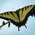 Wings Are Perfect Match - Eastern Tiger Swallowtail by Cindy Treger