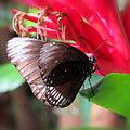 Wings Of Brown - Butterfly by MTBobbins Photography