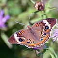 Wings Of Wonder - Common Buckeye Butterfly by Kerri Farley