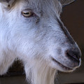 Winsome Goat by Ann Horn