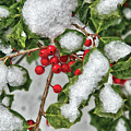Winter - Ice Coated Holly by Mike Savad