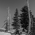 Winter Alpine Trees, Mount Rainier National Park, Washington, 2016 by Steve G Bisig