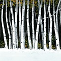 Winter Aspens II by Michael Swanson