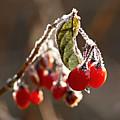Winter Berries by Antonio Ballesteros Mijailov