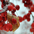 Winter Berries by David Arment