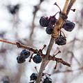 Winter Berries by Gary Chapple
