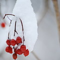 Winter Berries by Michael Peychich